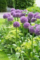 Derlam Samenhaus-50 Pc Zierlauch Sternkugel Lauch Allium giganteum Blumenlauch mehrj/ährig winterhart Blumensamen Bio Saatgut f/ür Balkon Garten